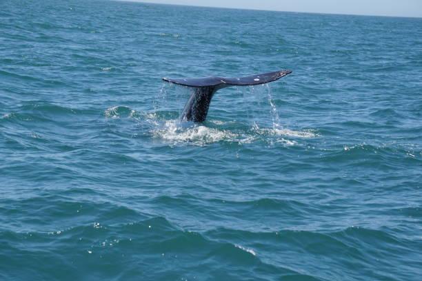 Blue Whales on Oregon Coast stock photo