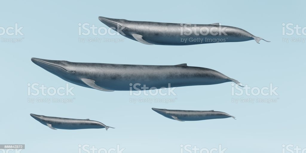 Blue Whales stock photo