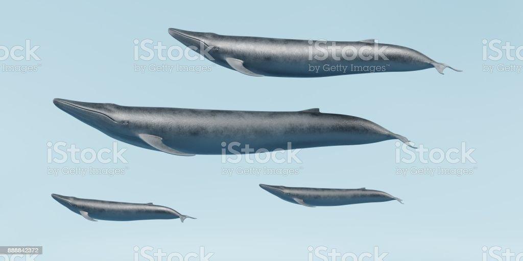 Blue Whales стоковое фото