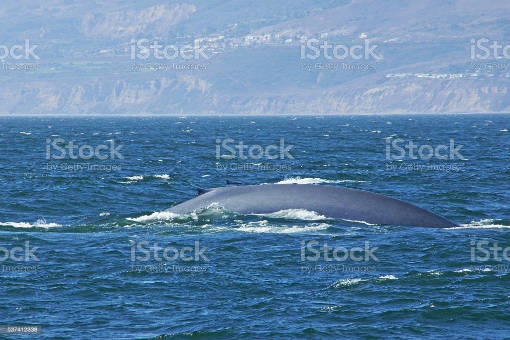 Blue Whales swim along California coast стоковое фото