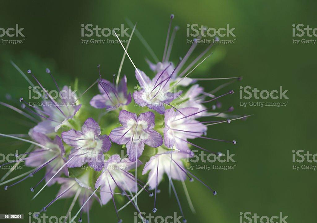 Blue white flowers royalty-free stock photo