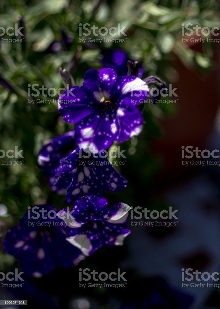 Blue white pelargonium - flowers on the terrace stock photo