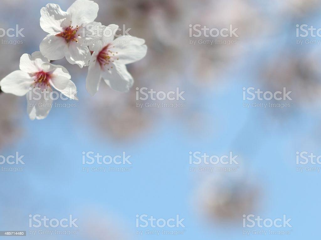 Blau Weiss Rot Cherry Blossom Wallpaper Hintergrund Stockfoto Und Mehr Bilder Von Asien Istock