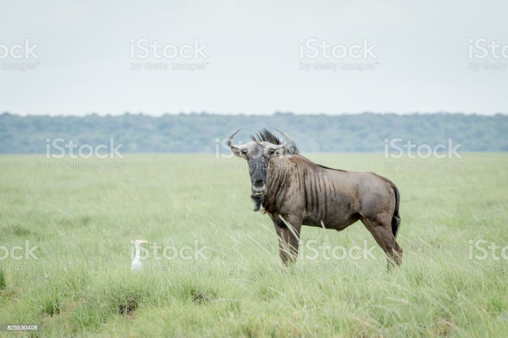 Blue wildebeest and Cattle egret in grass. stock photo