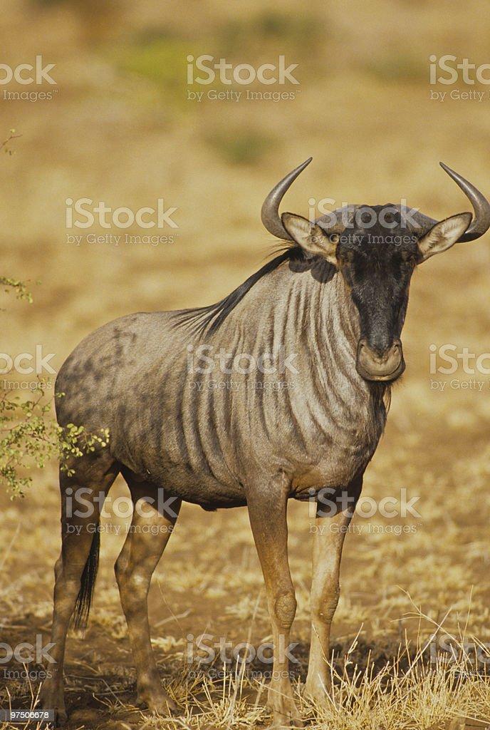 Blue Wildebeest Bull royalty-free stock photo