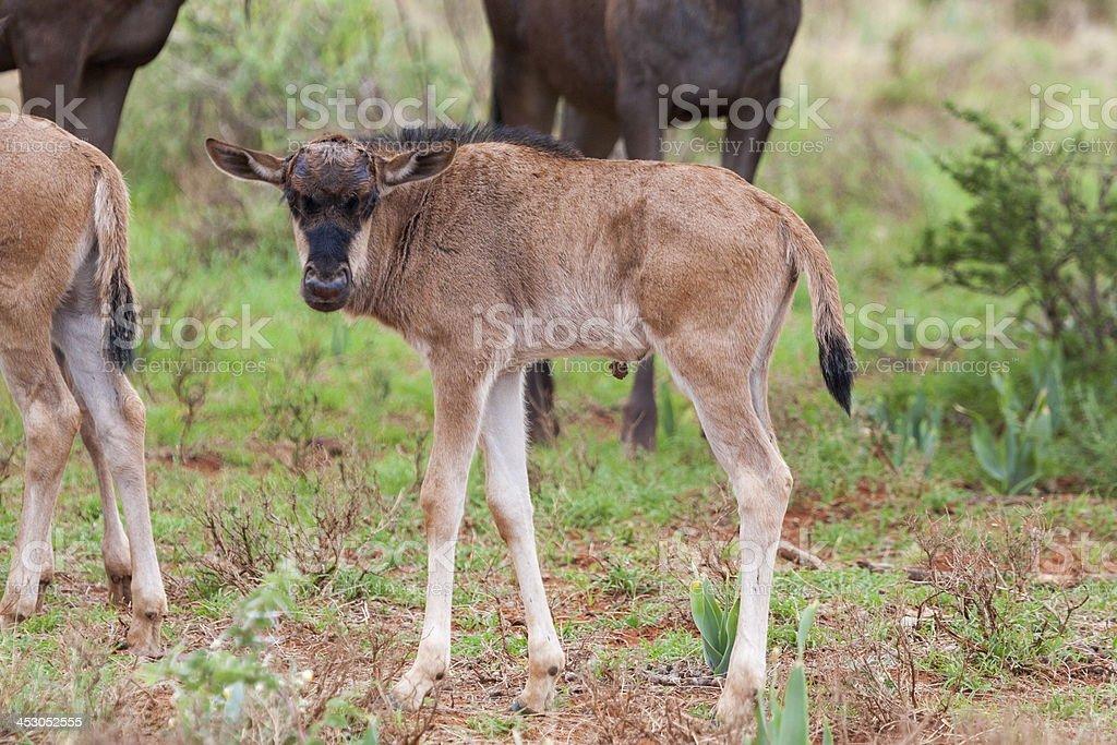 Blue Wildebeest Calf stock photo