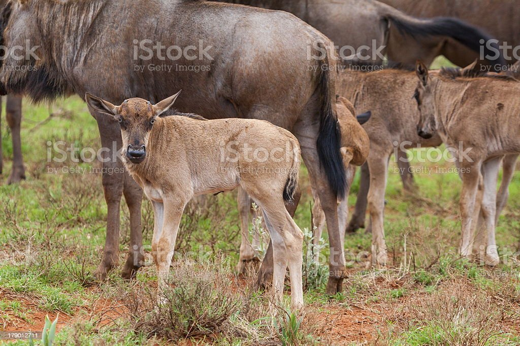 Blue Wildebeest Calves stock photo