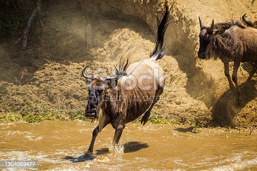 Blue Wildebeest crossing the Mara River during the annual migration in Kenya