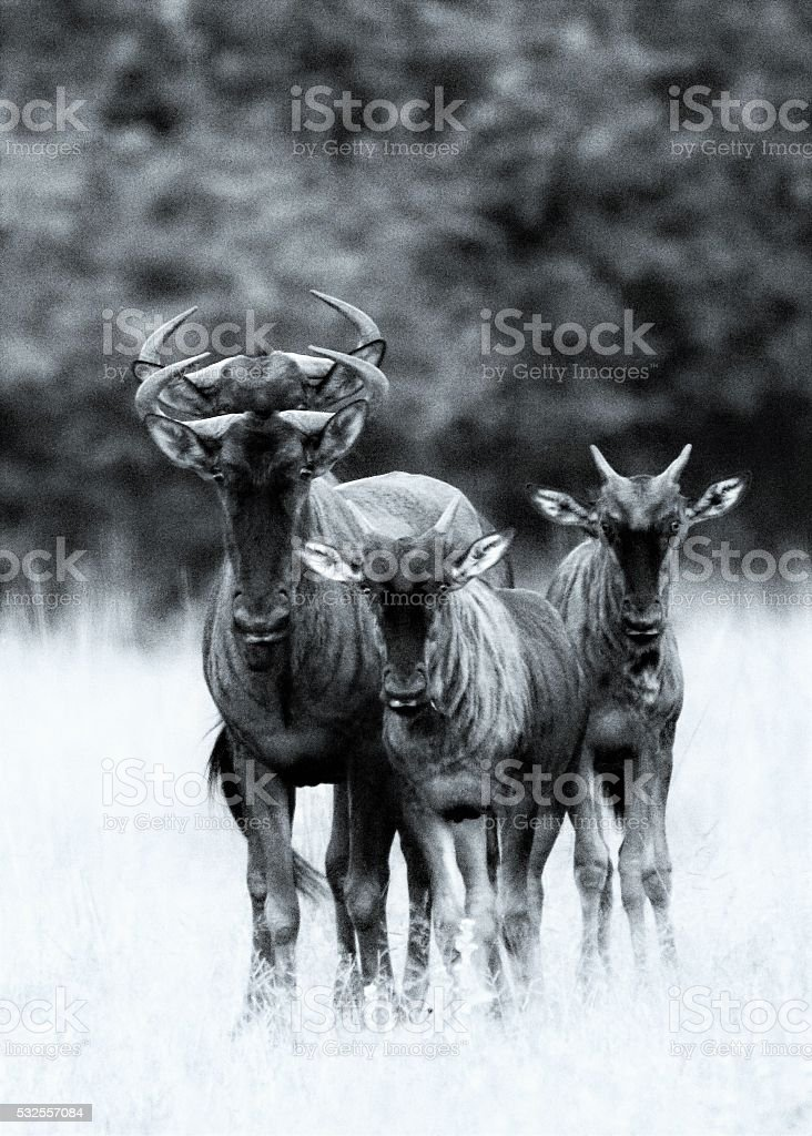 Blue Wildebeest Family - Double Reflection stock photo
