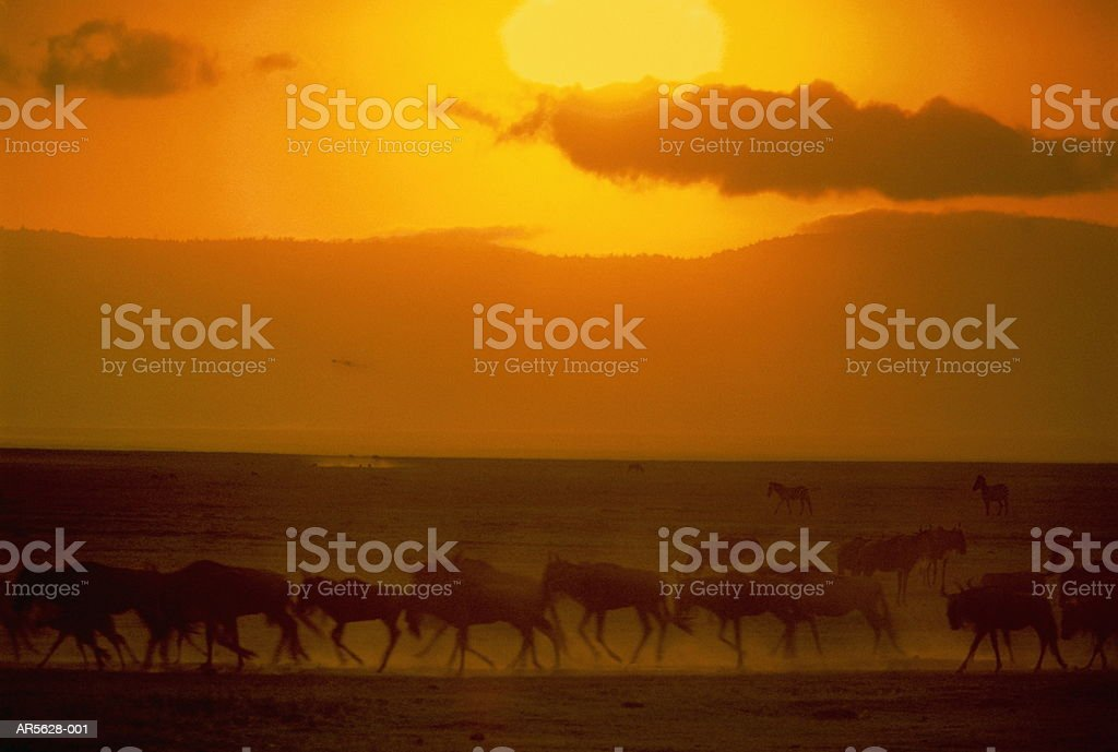 Blue wildebeest herd (Connochaetes taurinus), Tanzania (Enhancement) royalty-free stock photo