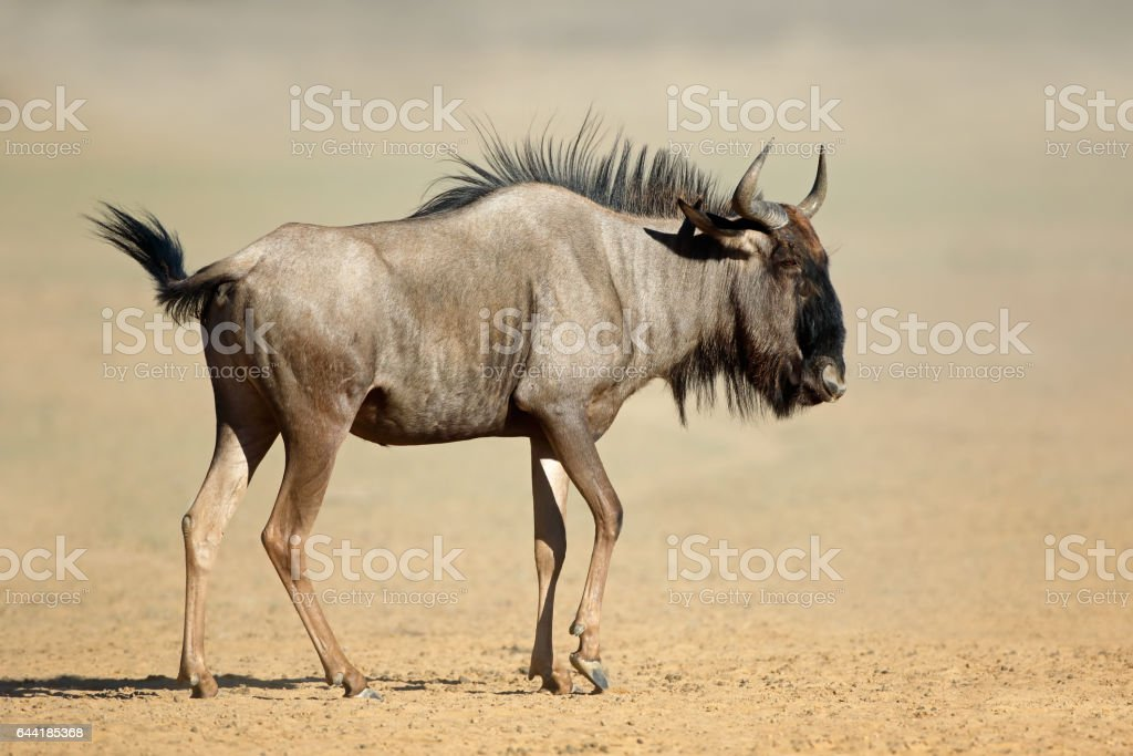 Blue wildebeest in dust, Kalahari desert, South Africa stock photo