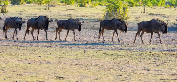 Blue Wildebeest in Etosha, Namibia stock photo