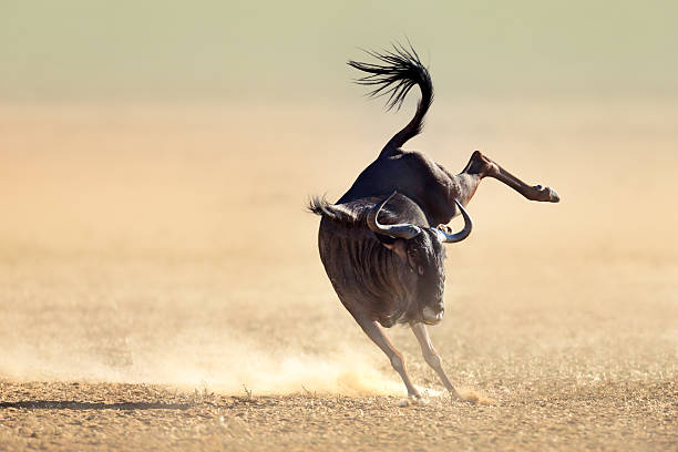 Blue wildebeest jumping playfully around Blue wildebeest jumping playfully around - Kalahari desert - South Africa wildebeest running stock pictures, royalty-free photos & images