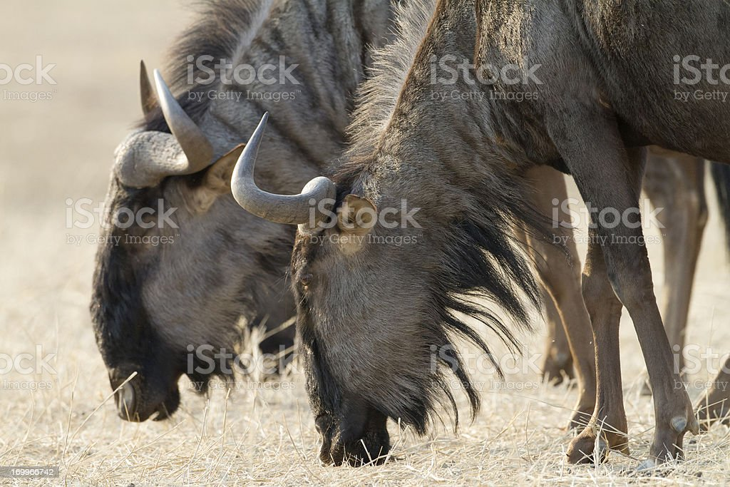 Blue Wildebeest, Kgalagadi Transfrontier Park, South Africa stock photo