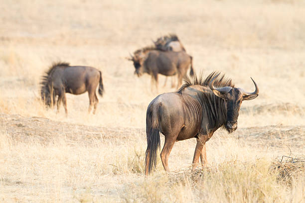 Blue Wildebeest, Kgalagadi Transfrontier Park, South Africa stock photo