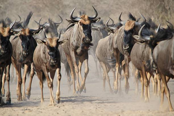 Blue Wildebeest - Migration and Wildlife Background from Africa. A herd of Blue Wildebeest run across an open plain, instinct driven in their annual great migration.  As photographed in the wilds of Africa. wildebeest running stock pictures, royalty-free photos & images