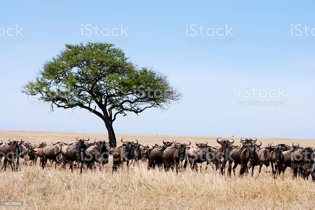 Blue wildebeest migration in Serengeti National Park royalty-free stock photo