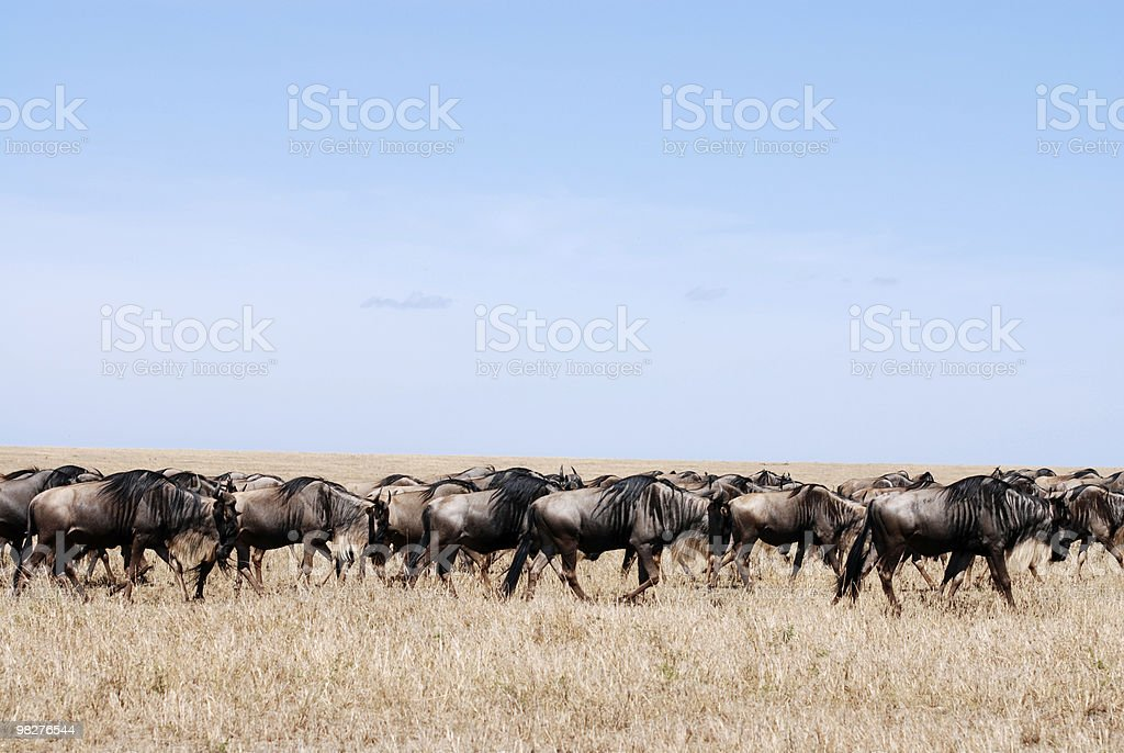 Blue wildebeest migration in Serengeti royalty-free stock photo