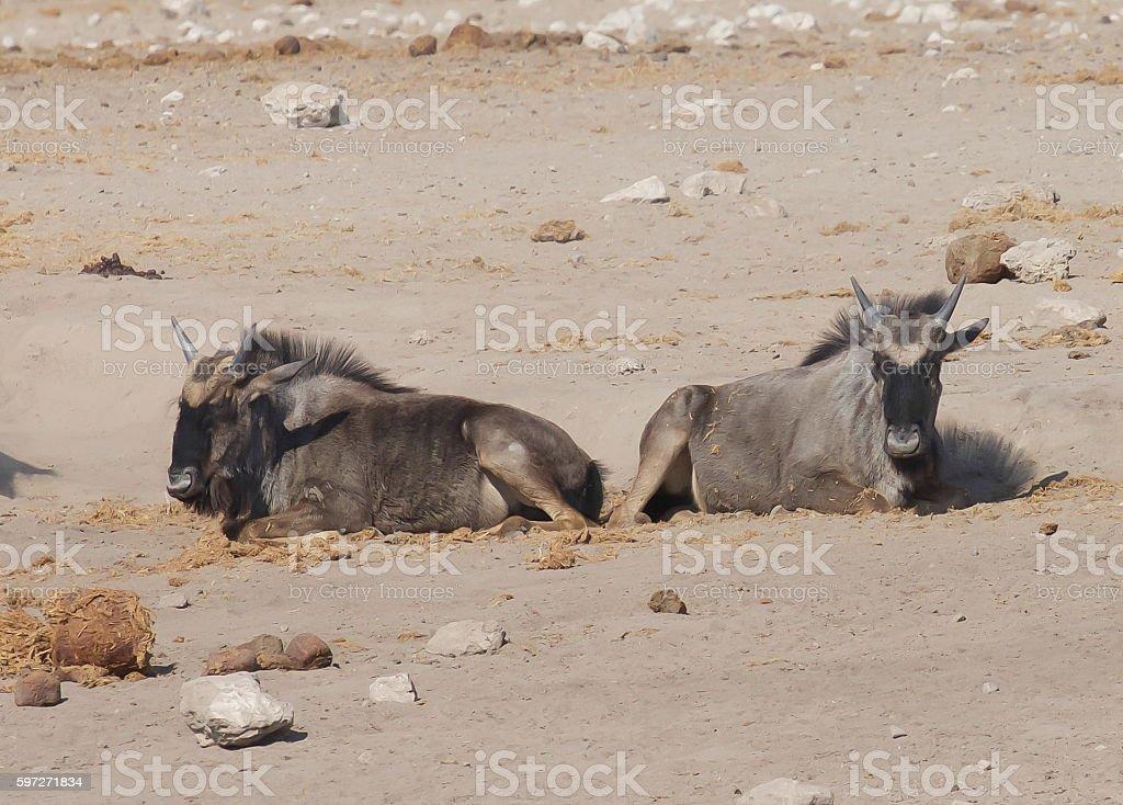 Blue Wildebeest royalty-free stock photo