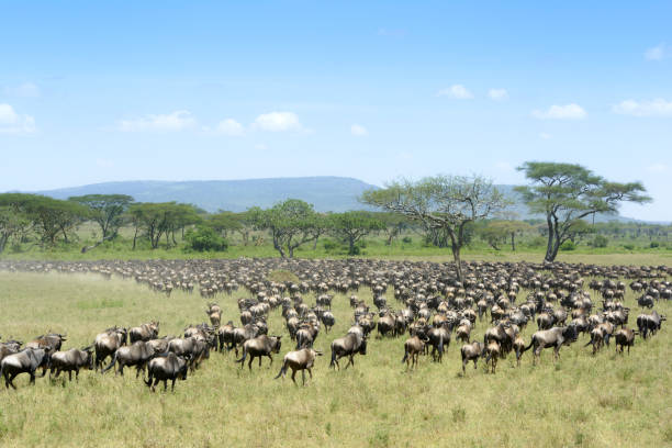 Blue Wildebeest (Connochaetes taurinus) Herd of Blue Wildebeest ( Connochaetus taurinus) seen from behind, during migration, Serengeti national park, Tanzania. wildebeest running stock pictures, royalty-free photos & images