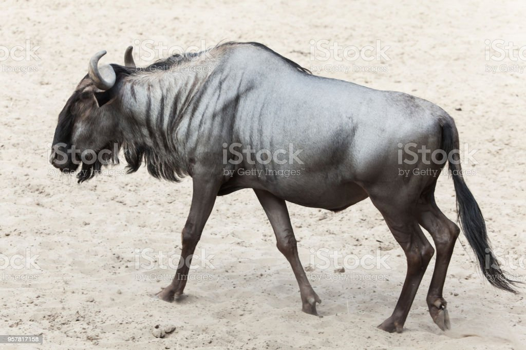 Blue wildebeest (Connochaetes taurinus) stock photo
