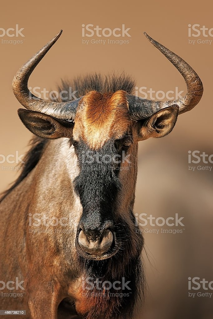 Blue wildebeest portrait stock photo