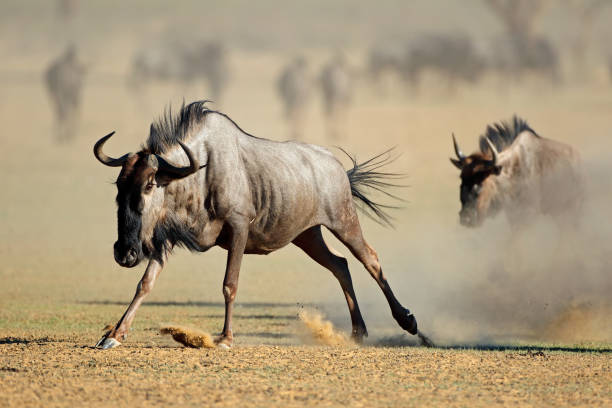 A blue wildebeest running in dust A blue wildebeest (Connochaetes taurinus) running in dust, Kalahari desert, South Africa wildebeest running stock pictures, royalty-free photos & images