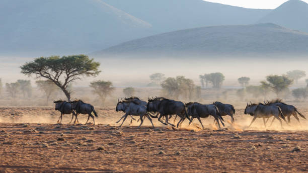 Blue wildebeest running. A herd of blue wildebeest (Connochaetes taurinus) running, and kicking up dust during sunrise, Namib Desert, Namibia wildebeest running stock pictures, royalty-free photos & images