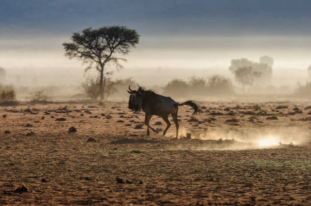 Blue wildebeest running. A single blue wildebeest (Connochaetes taurinus) running, and kicking up dust during sunrise, Namib Desert, Namibia wildebeest running stock pictures, royalty-free photos & images