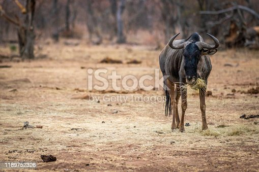 Blue wildebeest standing and eating in the Welgevonden game reserve, South Africa