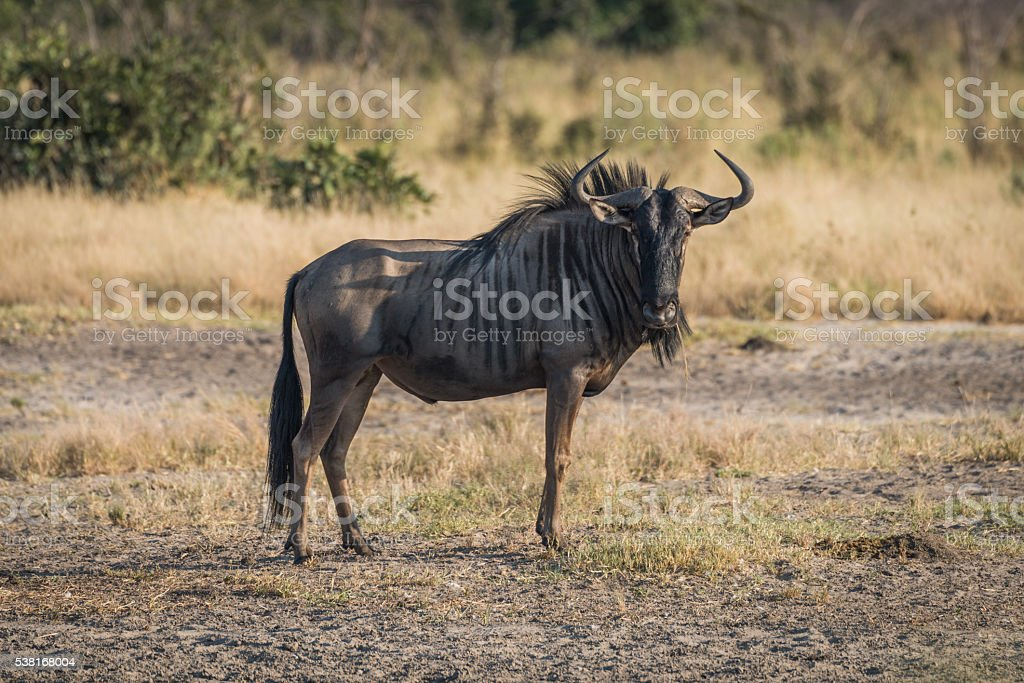 Blue wildebeest standing on savannah facing camera stock photo