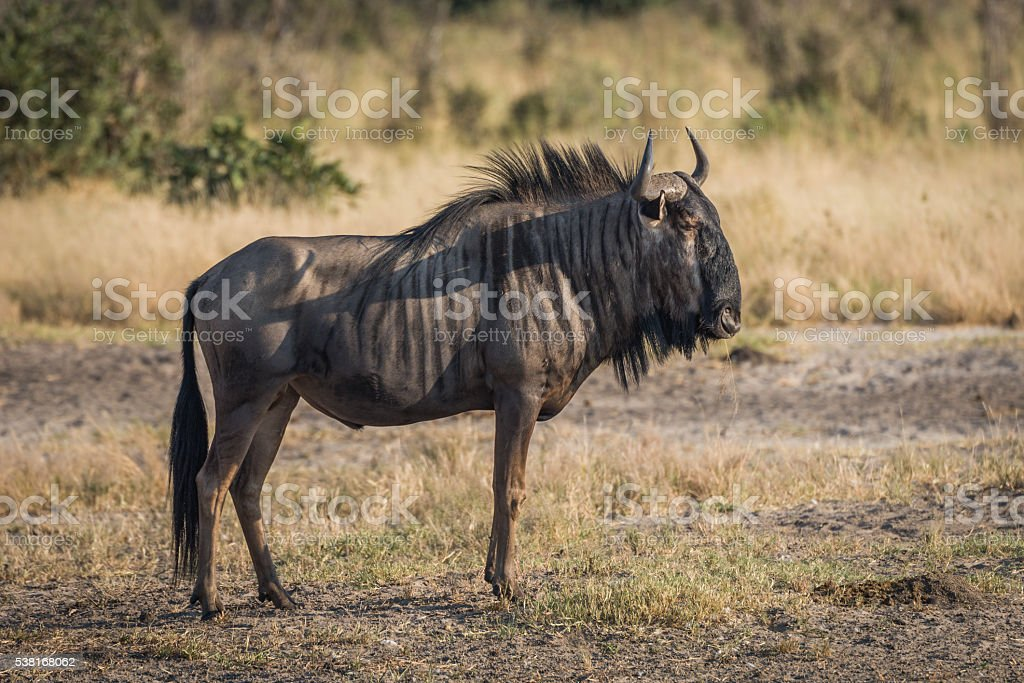Blue wildebeest standing on savannah staring ahead stock photo