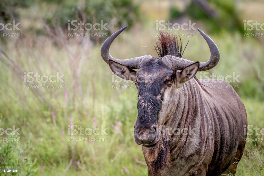 Blue wildebeest starring at the camera. stock photo