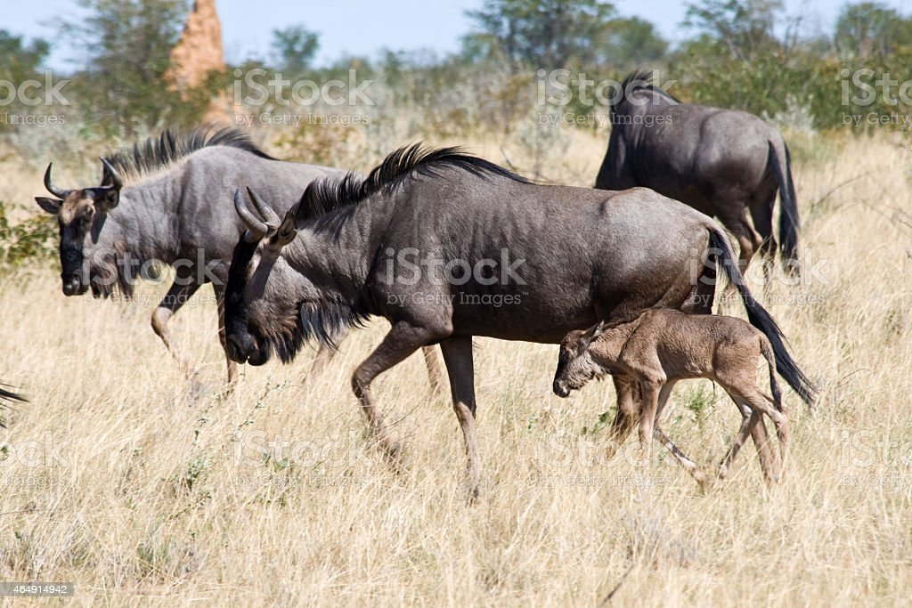 Blue Wildebeest with calf. stock photo