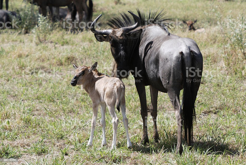 Blue wildebeest with calf royalty-free stock photo