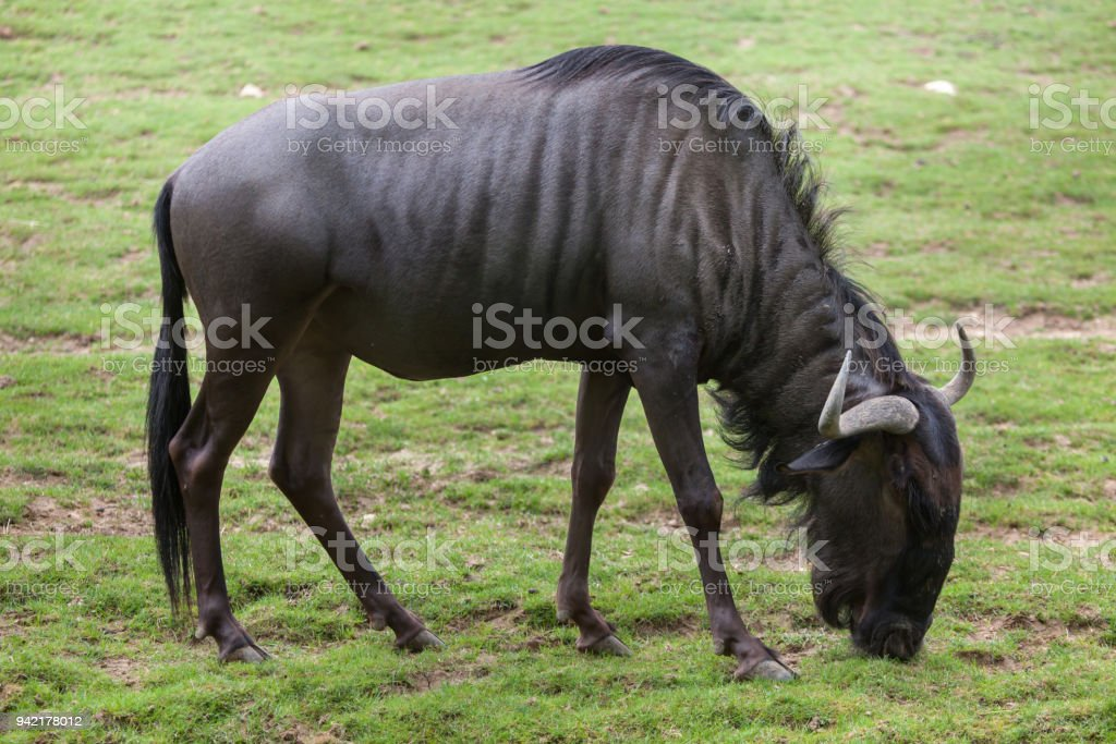 Blue wildebeests (Connochaetes taurinus) stock photo