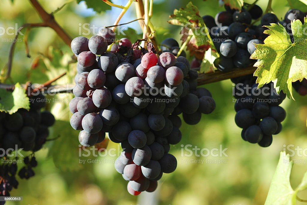 blue wine berries stock photo