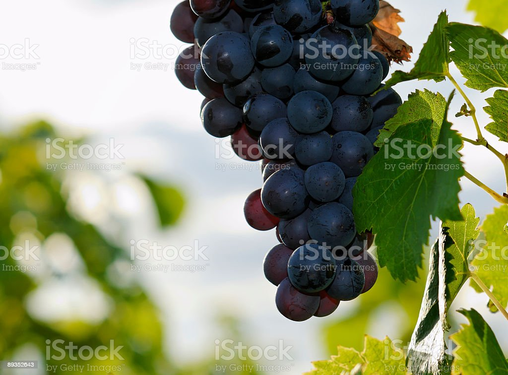 blue wine grapes stock photo