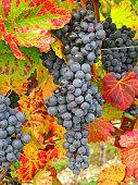 Blaue Weinrauben zum Ernten