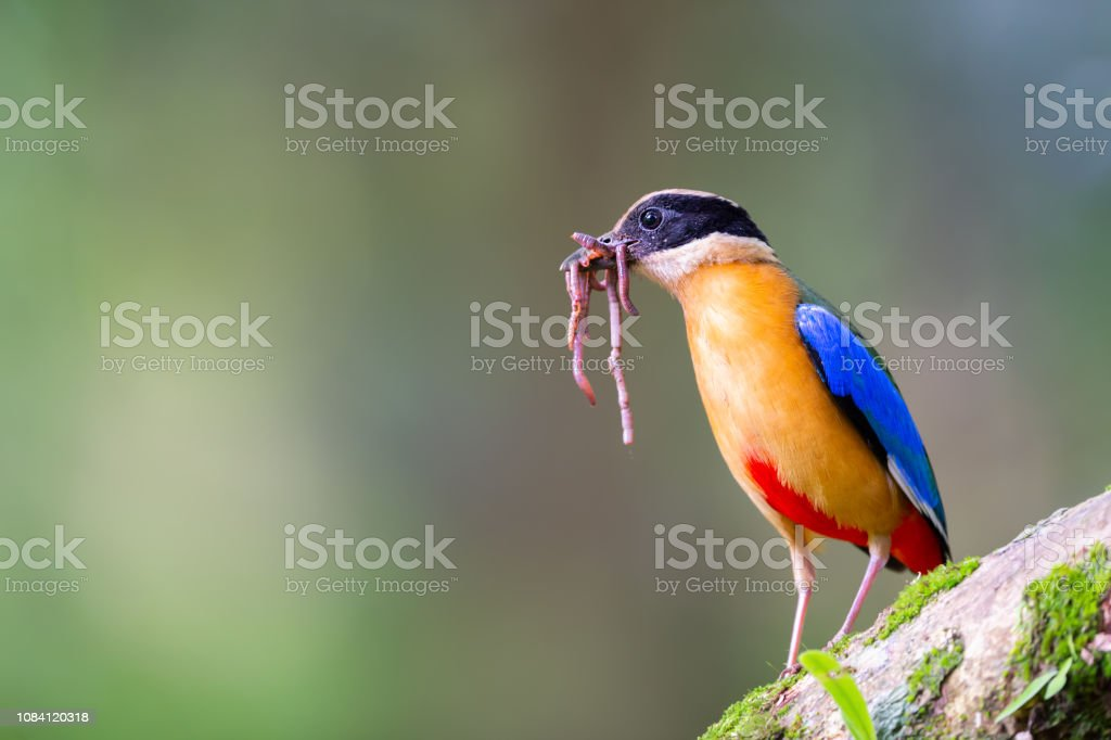 Blue winged Pitta standing on moss covered log with earthworms in...