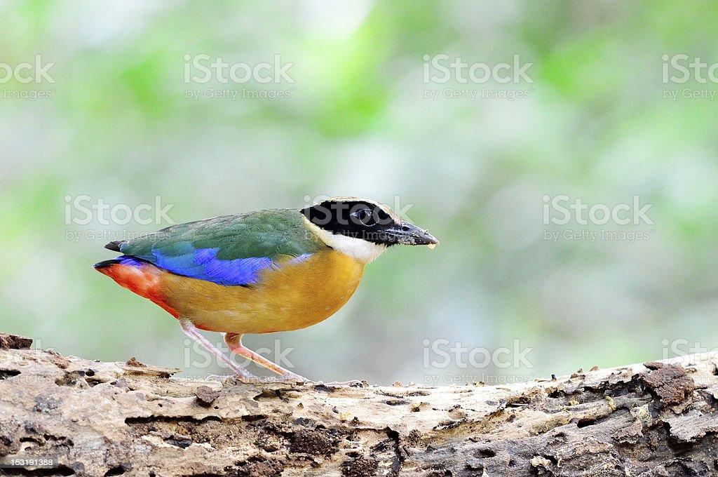 Blue winged Pitta royalty-free stock photo