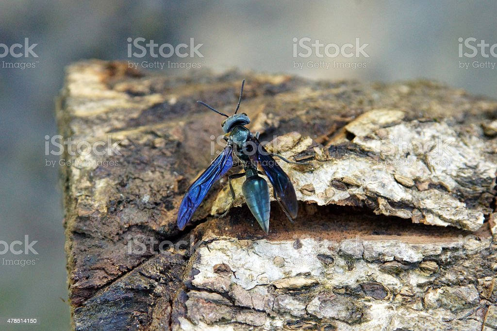 Blue winged spider wasp stock photo