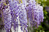 'Blue wisteria in spring. Oslo, Norway.Please see some other pictures from my portfolio:Lightbox:'