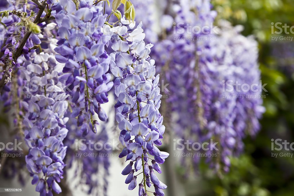 Blue wisteria in spring. stock photo