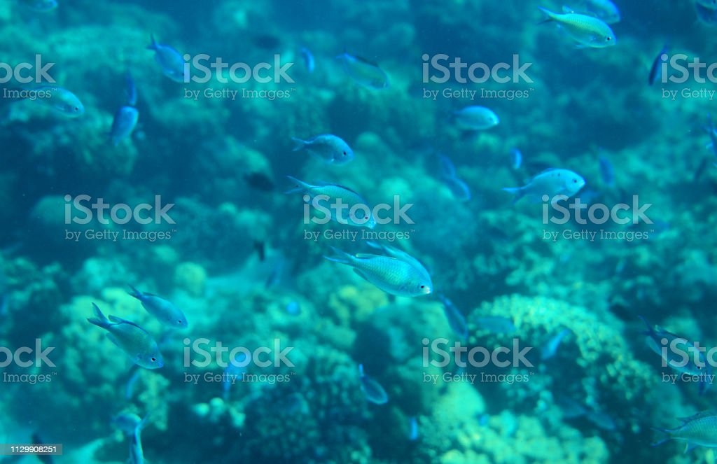 Blue wrasse in coral reef closeup. Tropical sea animal underwater...
