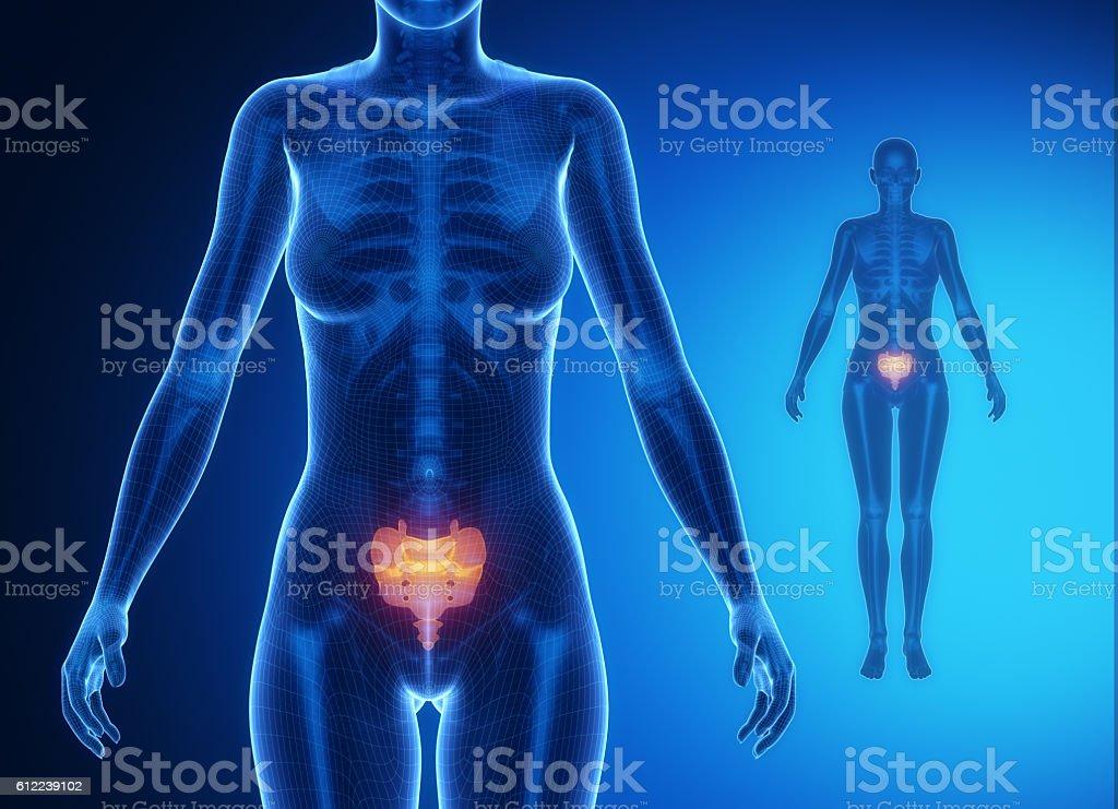 SACRUM blue x--ray bone scan stock photo