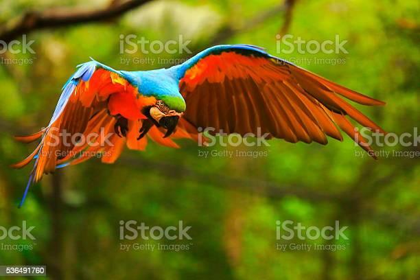 Blue yellow macaw bird flying spread wings brazilian amazon picture id536491760?b=1&k=6&m=536491760&s=612x612&h=hkkbvpdkqydvpajgdcqr pomkyvb1ovuhx9fv4waia0=