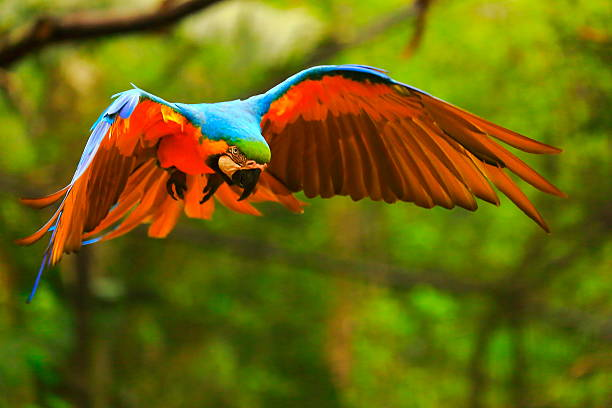 Blue yellow macaw BIRD flying, spread wings, brazilian amazon rainforest stock photo