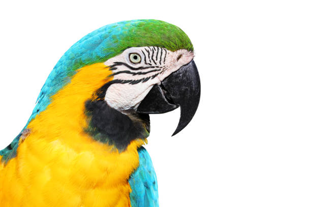 Blue-and-golden or Blue-and-yellow Macaw (Ara ararauna) Close-up Isolated Head Portrait stock photo