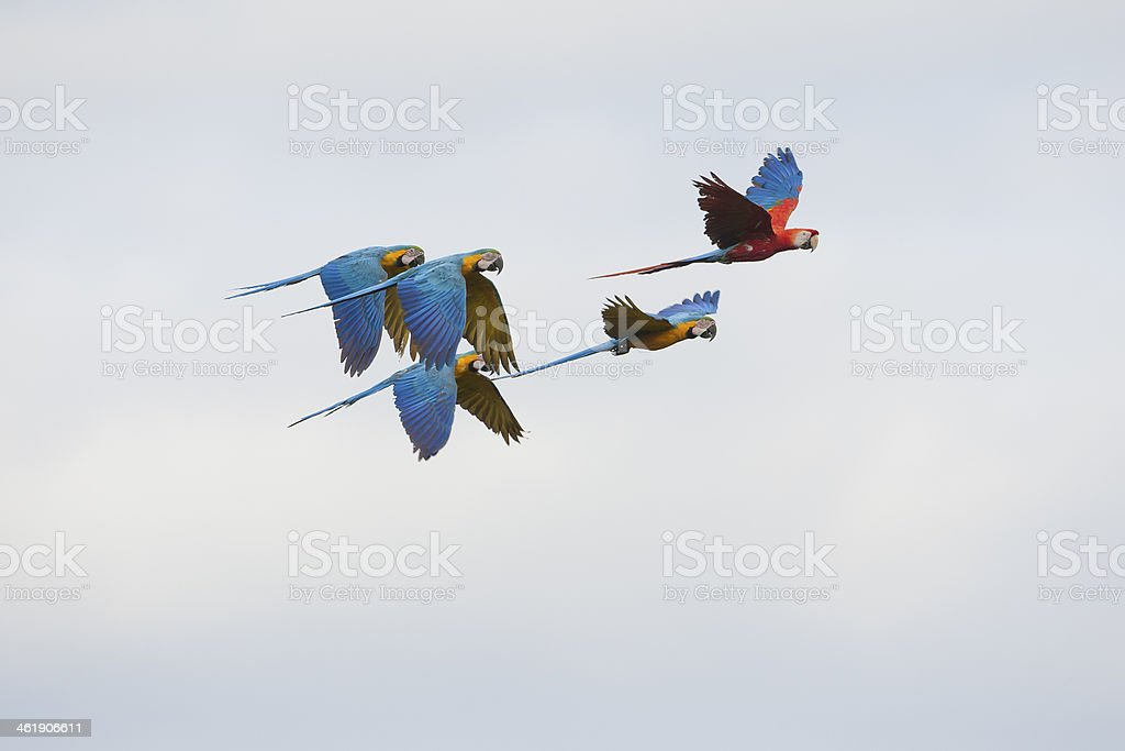 Blue-and-yellow and Scarlet Macaws stock photo